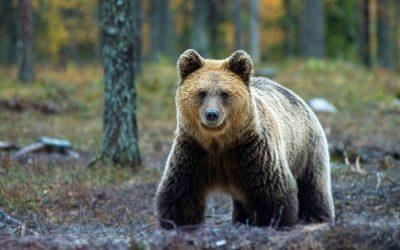 Abendliches Bear-Watching