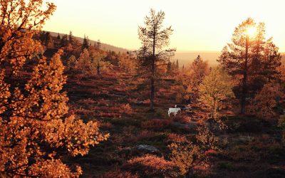 Ruska-Saison – die Farben des Herbstes